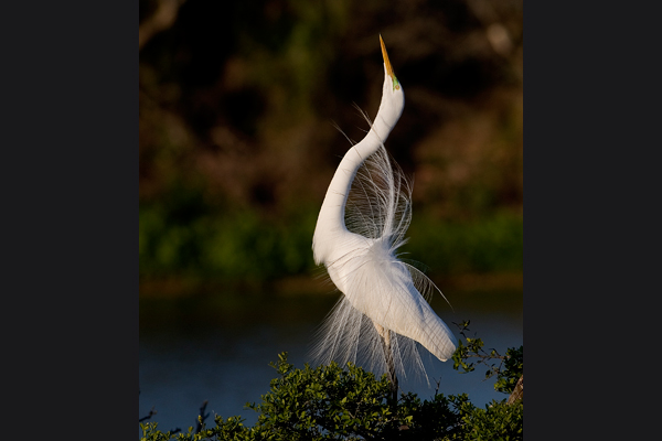 MATING EGRET