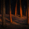 RED LIGHT IN THE PINEFOREST