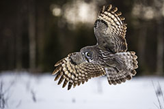 GREAT GREY OWL AT SUNSET