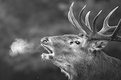 SMOKING DEER